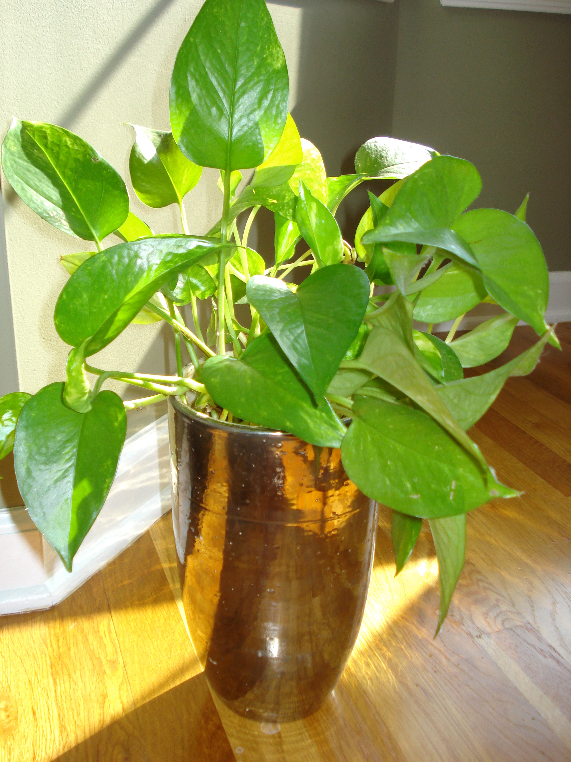 how to make philodendron fuller
